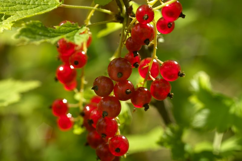 Klase med röda vinbär på en buske