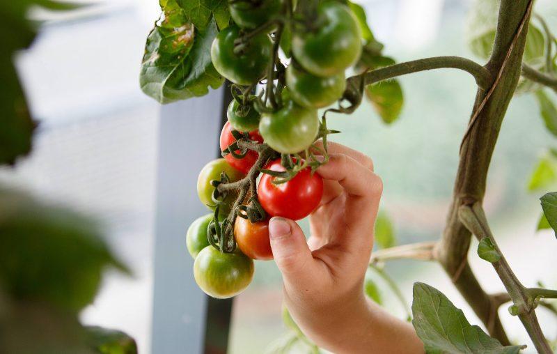 Enkla instruktioner till hur du själv sår tomater