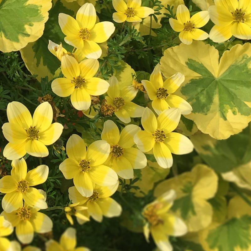 ampelskara_bidens-ferulifolia