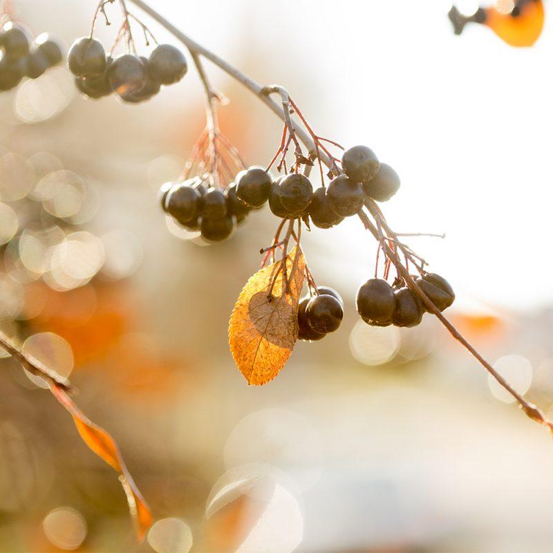 bararonia-viking_aronia-x-prunifolia-viking