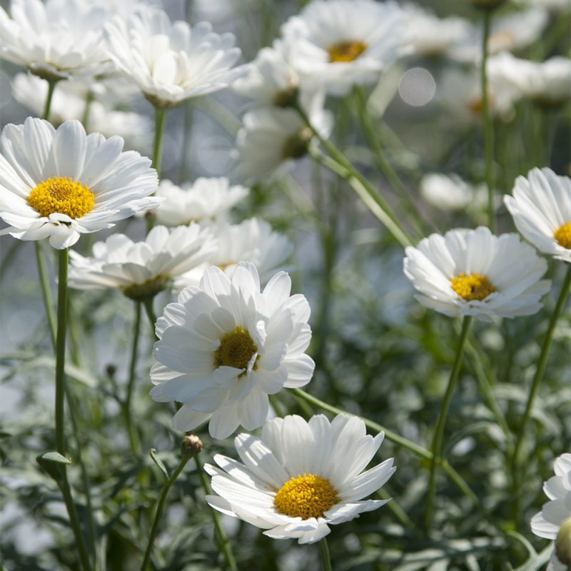 buskmargerit_argyranthemum-frutescens