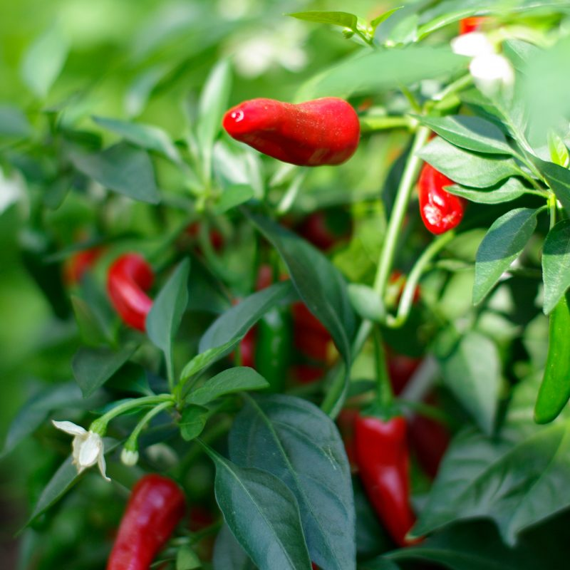 chili_capsicum-annuum-chili-gruppen