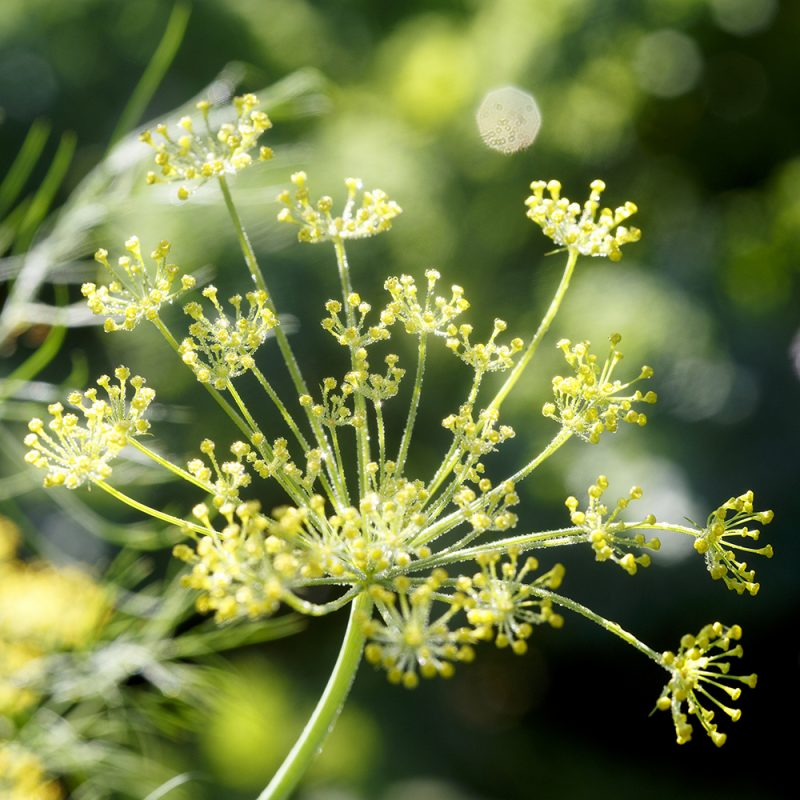 dill_anethum-graveolens