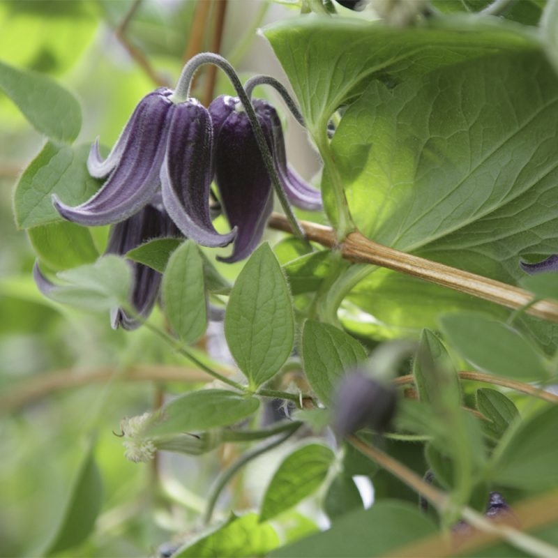 helbladig-klematis_clematis-integrifolia