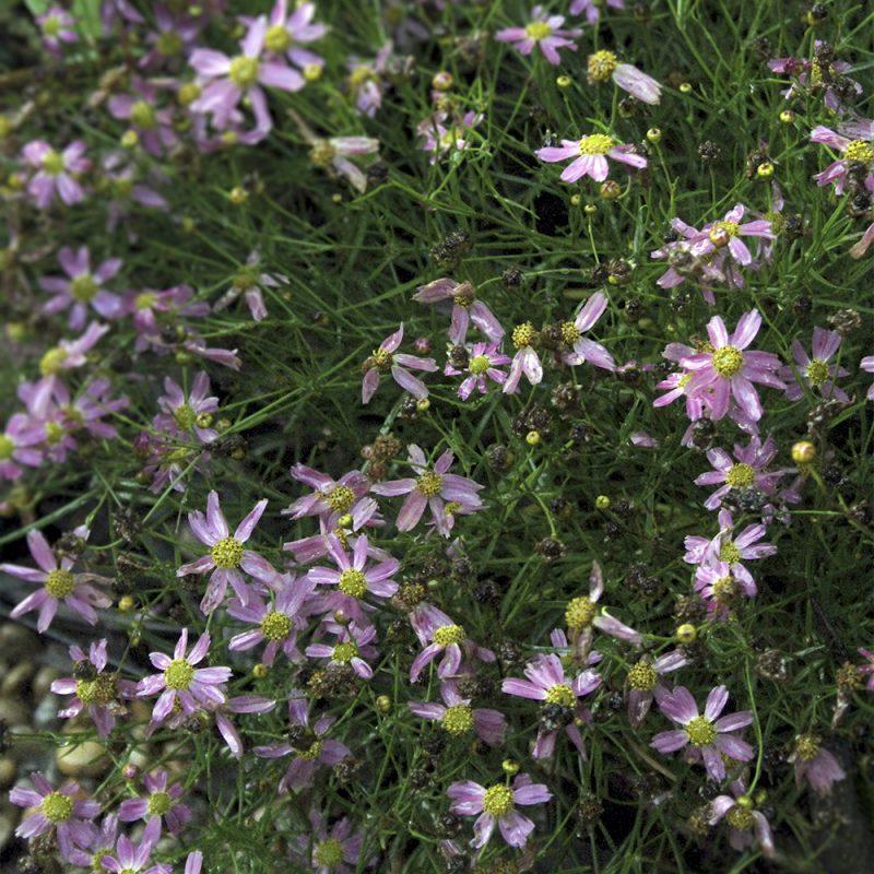 hostoga_coreopsis-verticillata