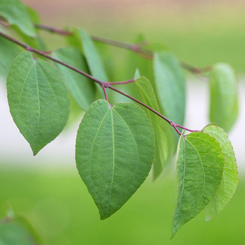 katsura_cercidiphyllum-japonicum
