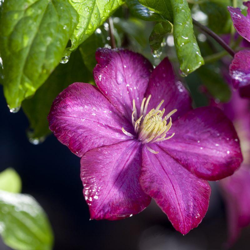 klematis-niobe-sena-storblommiga-gruppen-_clematis-niobe