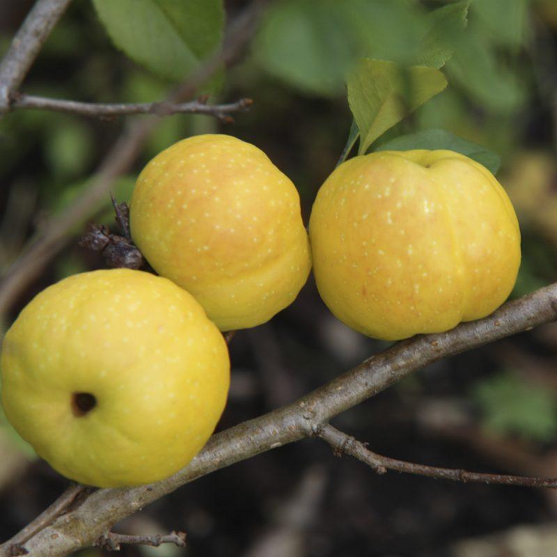 liten-rosenkvitten_chaenomeles-japonica
