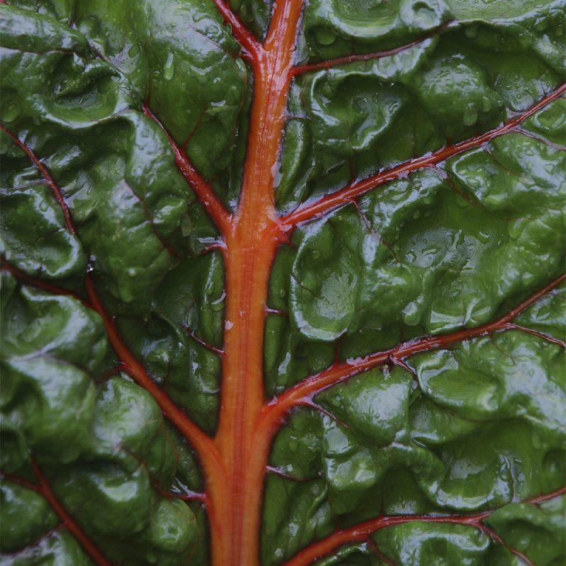 mangold-_beta-vulgaris-var-cicla-beta-vulgaris-var-flavescens