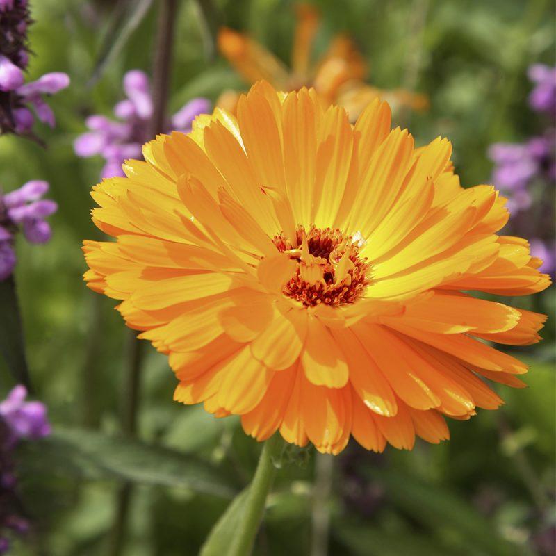 ringblomma-_calendula-officinalis