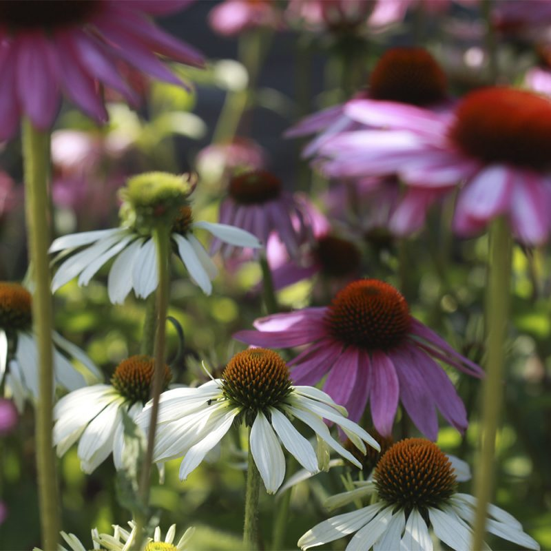 rod-solhatt_echinacea-purpurea