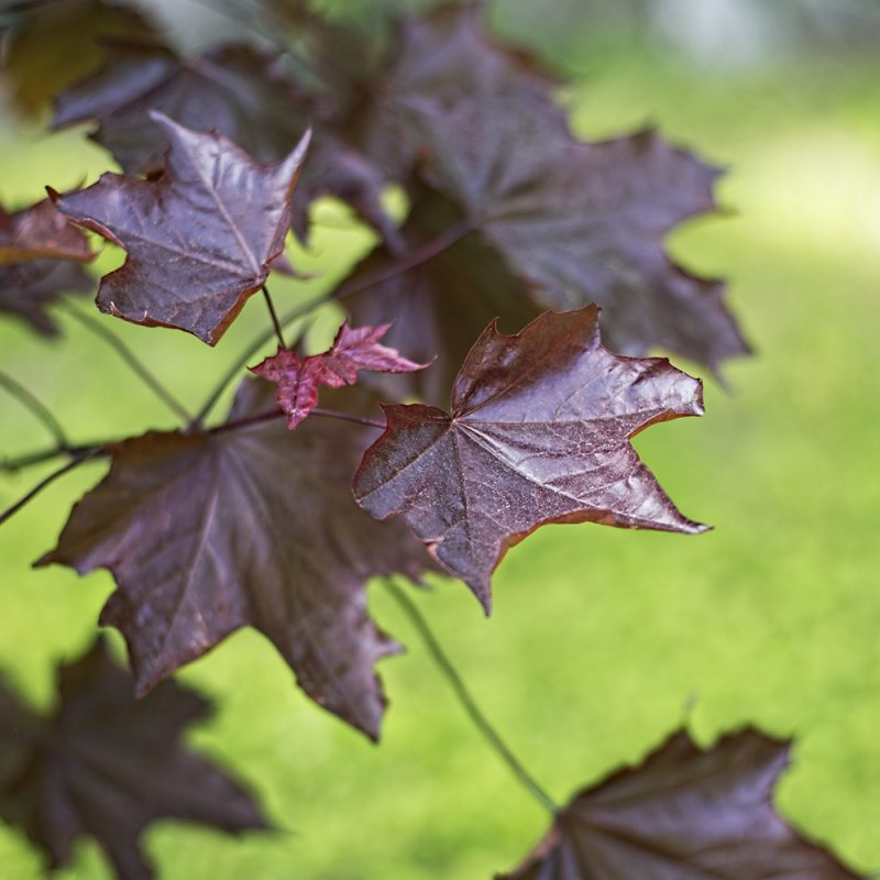 rodbladig-skogslonn_acer-platanoides-faasens-black