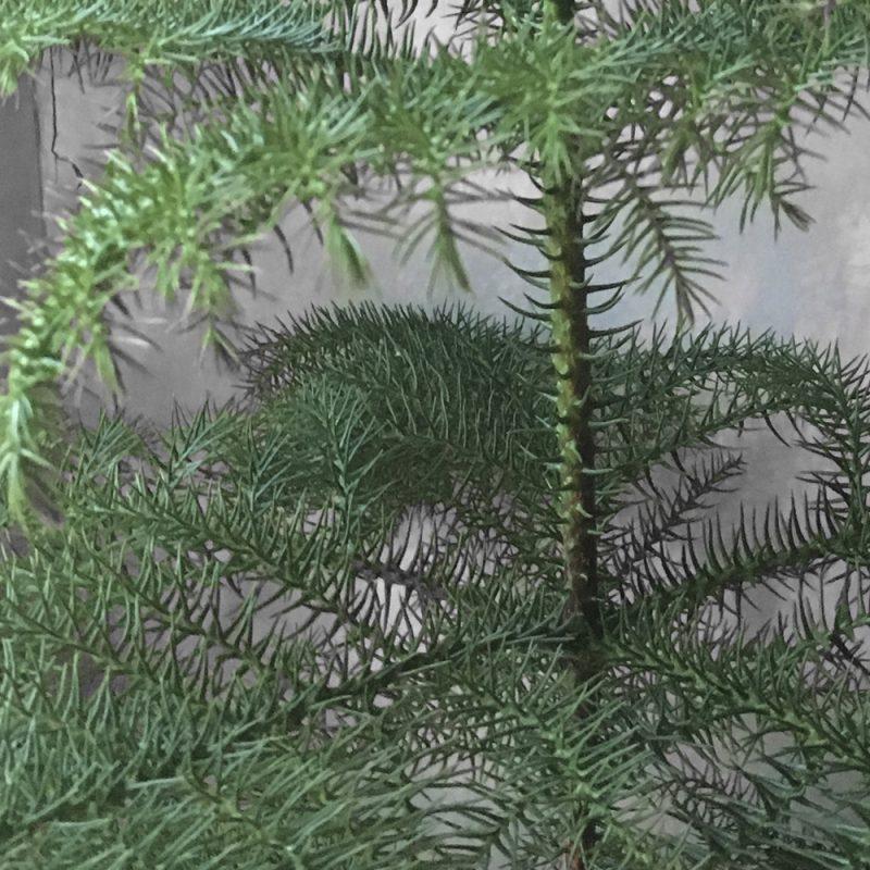 rumsgran_araucaria-heterophylla_hasselfors-garden