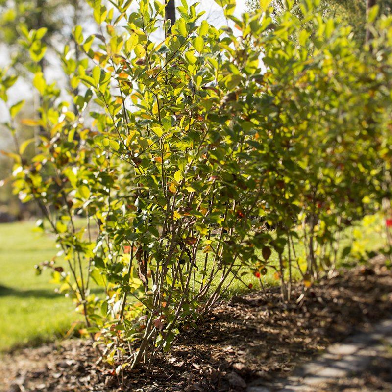 Slånaronia_Aronia × prunifolia
