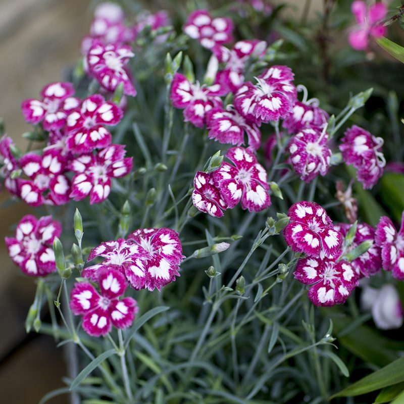 sommarnejlika_dianthus-chinensis