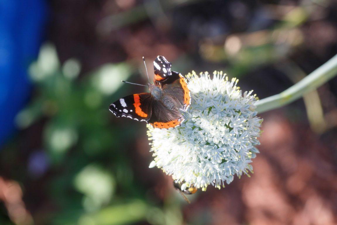 Information om växter som lockar pollinerare
