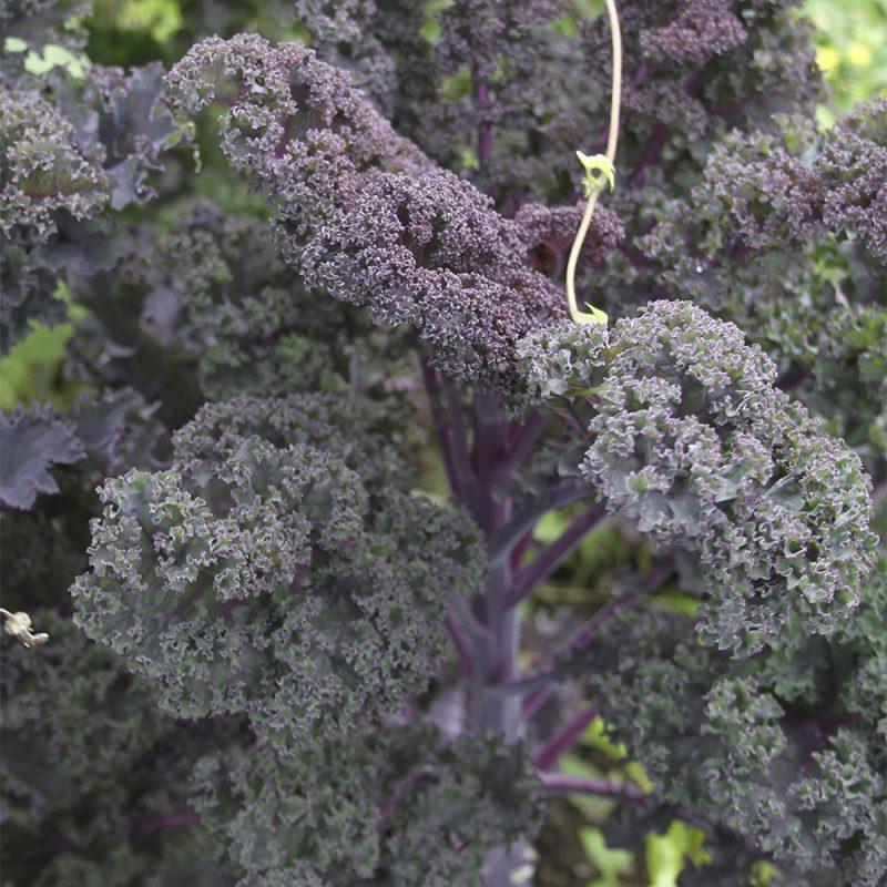 gronkal_brassica-oleracea-sabellica-gruppen