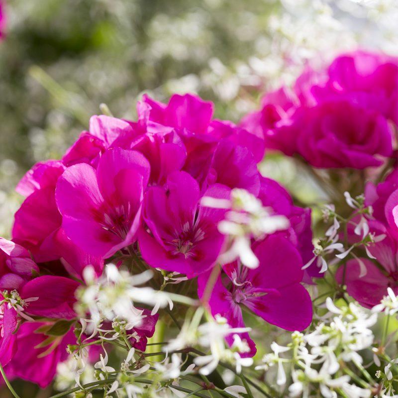 pelargonslaktet_pelargonium_hasselfors-garden
