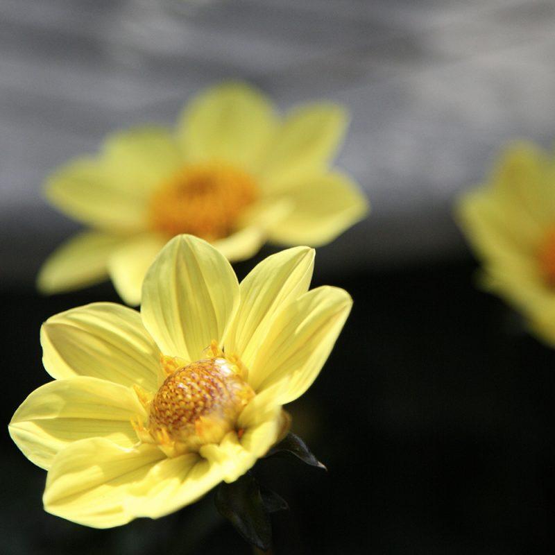 dahlia_dahlia-hortensis