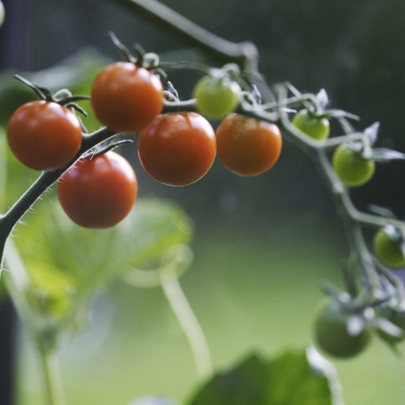 tomat_solanum-lycopersicum