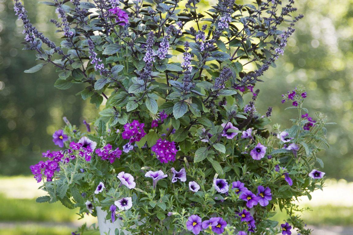 Lila sommarblommor plantering