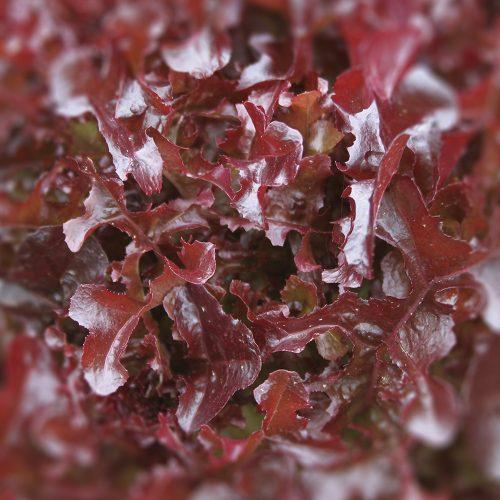 Plocksallat-Lactuca sativa Crispa-Gruppen-hfg-500x500