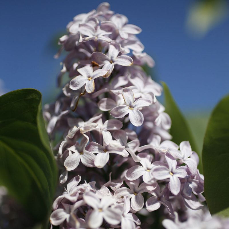Lila syrenbuske