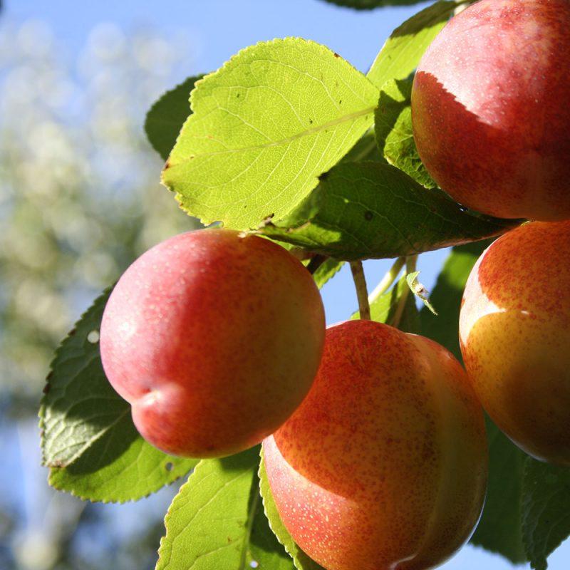 Fyra röda plommon på ett träd
