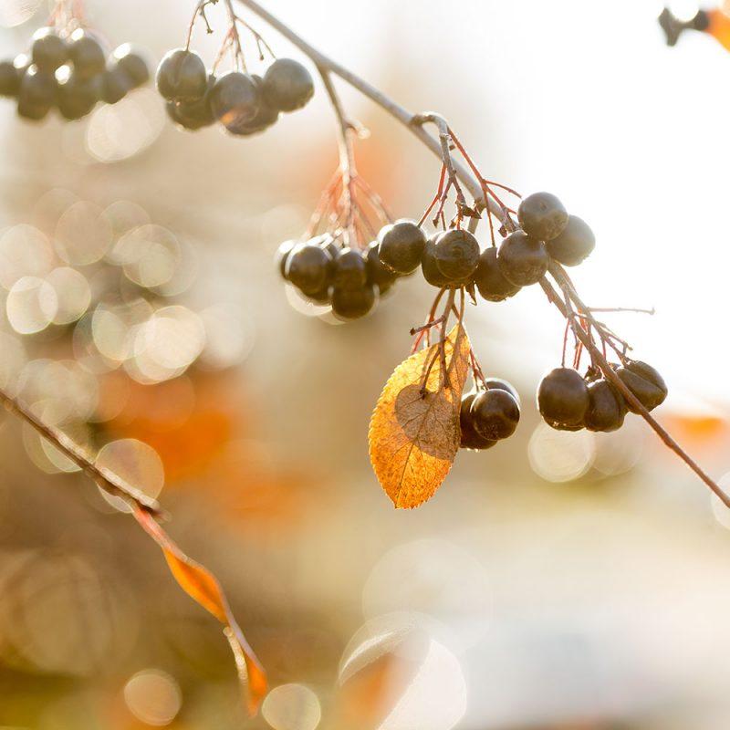 Små svarta bär på ett träd med gula löv