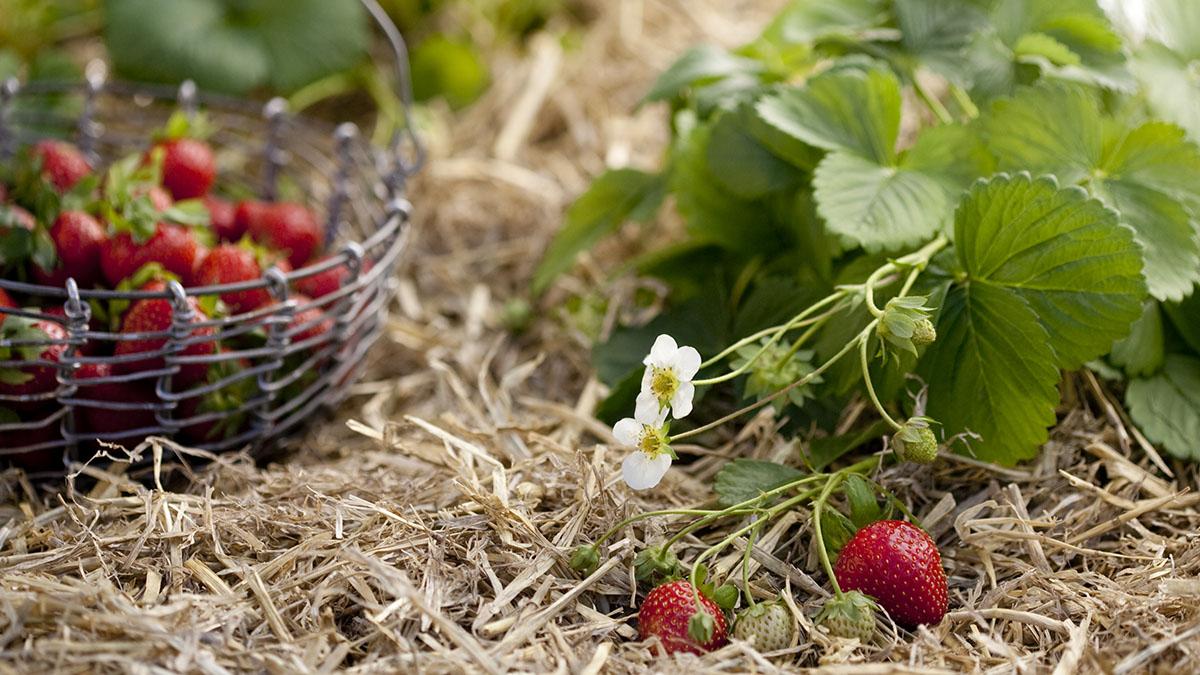 Solvarma jordgubbar