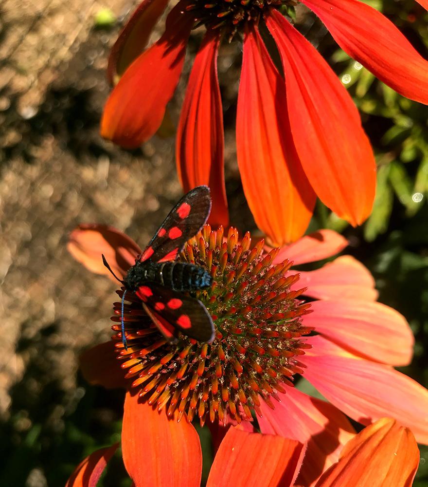 Gör det trivsamt för pollinatörer