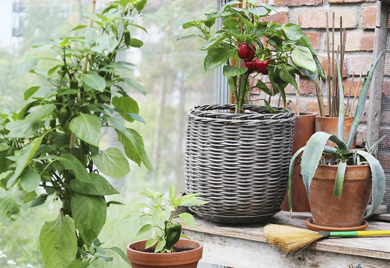 Odla paprika hemma