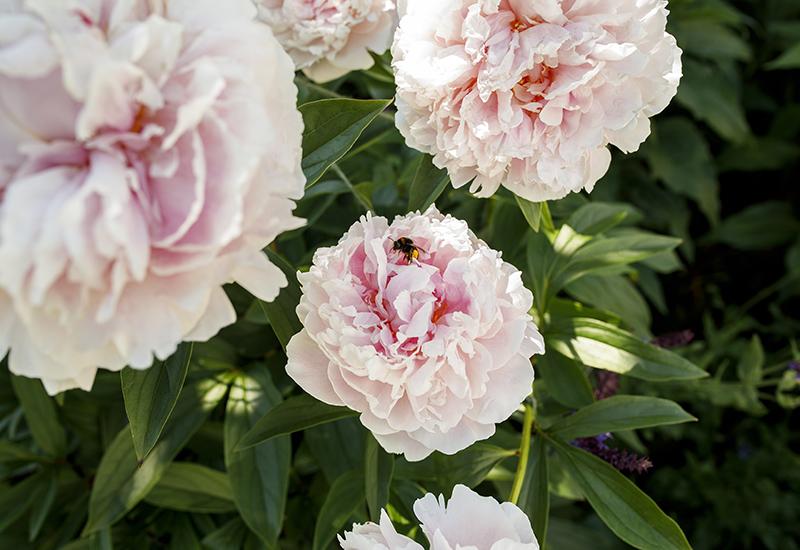 Tips på hur du får insekter, humlor och bin att trivas i din trädgård