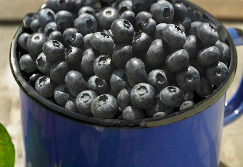 Tips och råd hur du odlar blåbär hemma