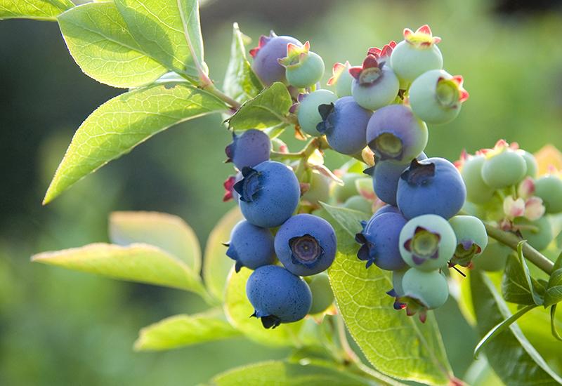 Instruktioner hur du tar hand om dina blåbär för att få en bra skörd