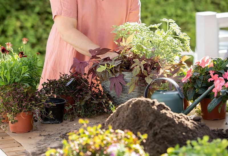 Enkla instruktioner och råd till hur du planterar i amepl