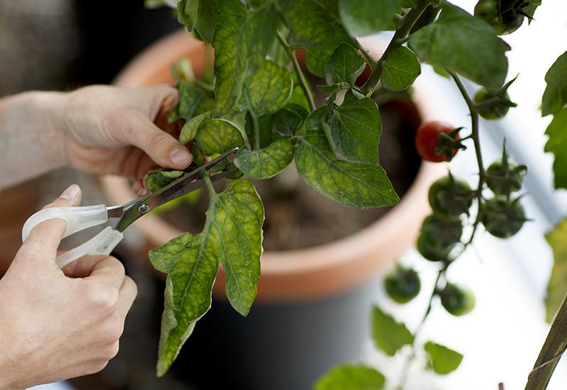 Enkla tips på hur du ska kapa dina tomater