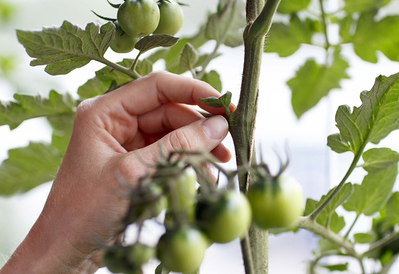 Enkla tips på hur du tjuvar du dina tomater
