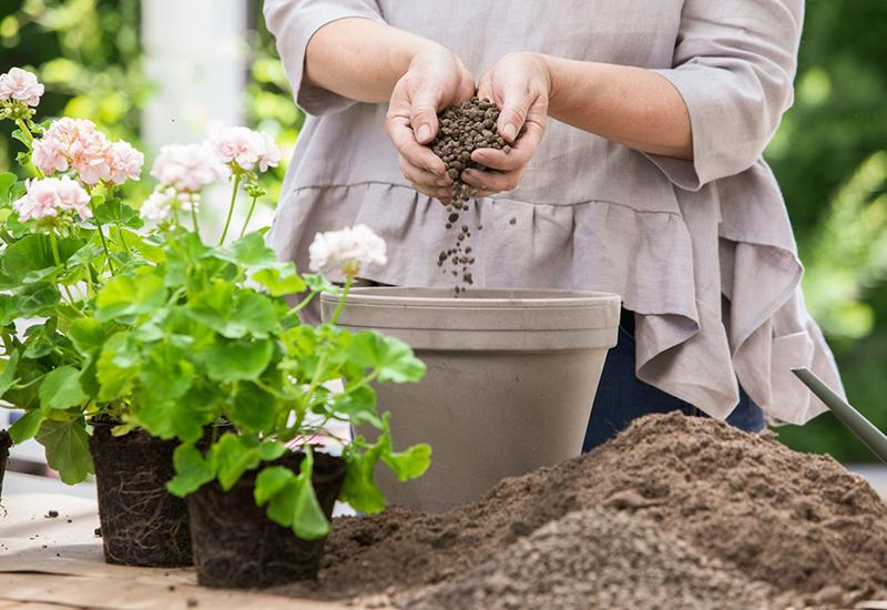 Enkla instruktioner på hur du tar hand om och planterar pelargoner