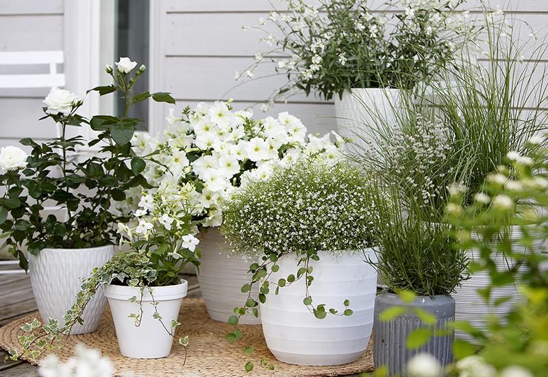 Skapa en harmonisk vitblomning på terassen i kruka