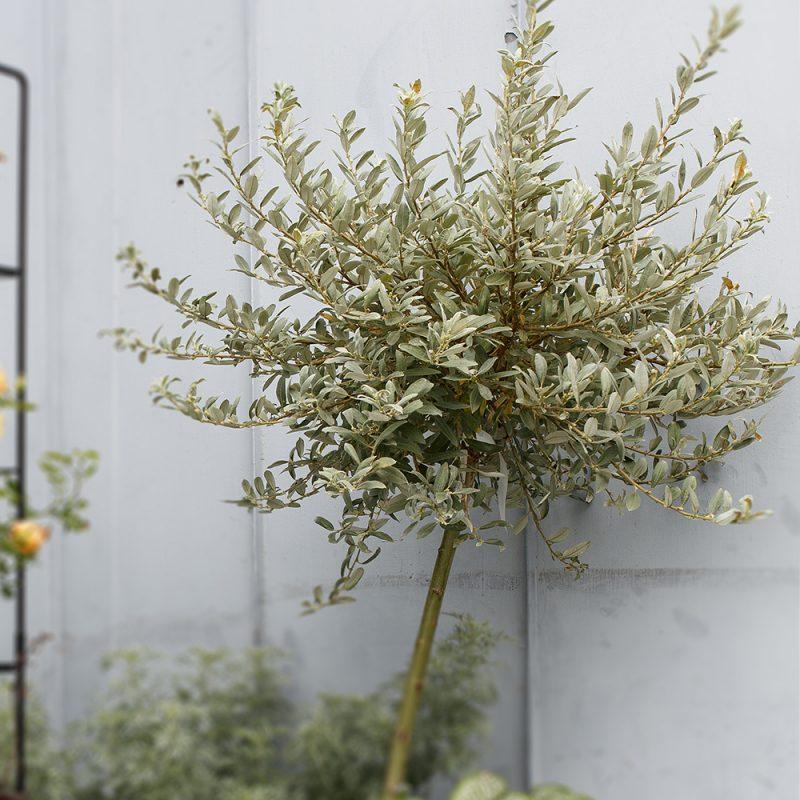 Skötselråd och plantering av alpvide