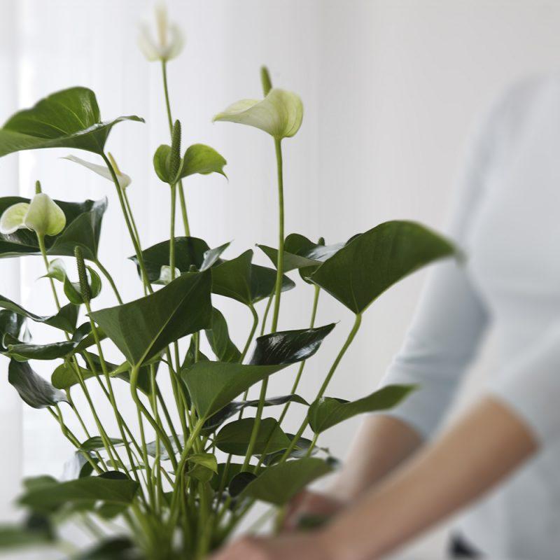 Enkla skötselråd och plantering av rosenkalla