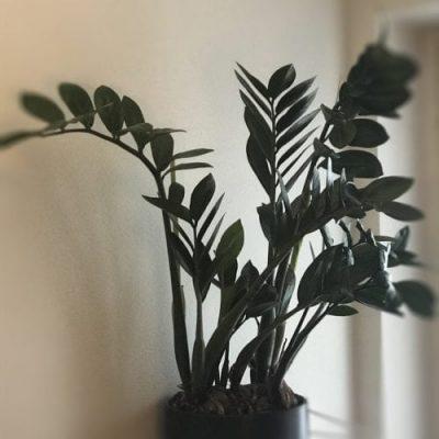 Skötselråd och planteringstips för inomhusplantering av garderobsplanta