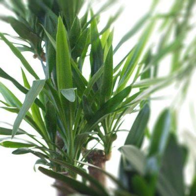 Enkel plantering och skötselråd av yuccapalm inomhus