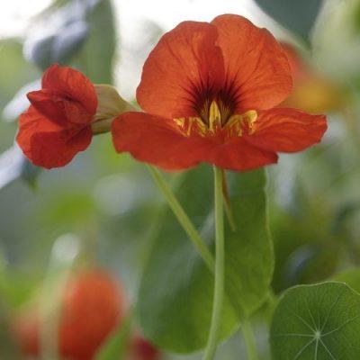 Plantera blomsterkrasse i rabatten eller i kruka