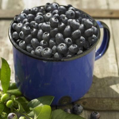 Skötselråd för att få en riklig skörd av hemmaodlade blåbär