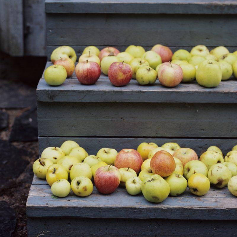 Hemmaodlade äpplen från ett äppleträd