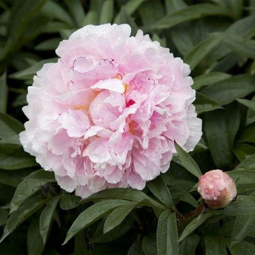 En rosa blommande bondpion samt knopp