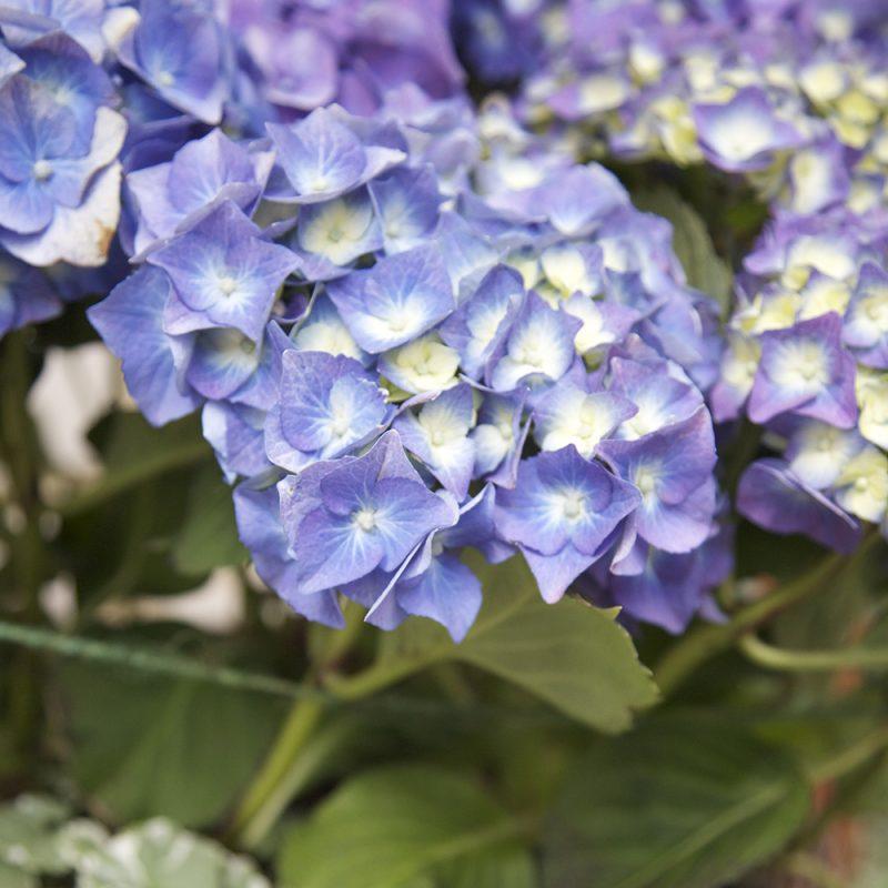 Blommande blå Hortensia