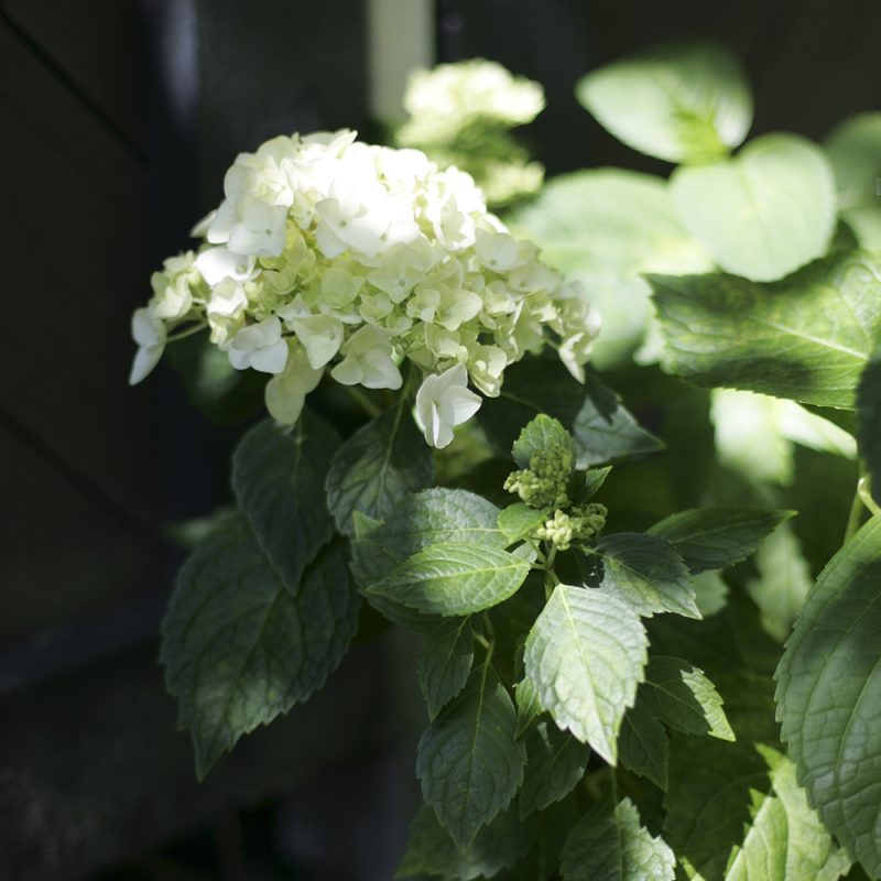 En vit hortensiablomma med gröna blad